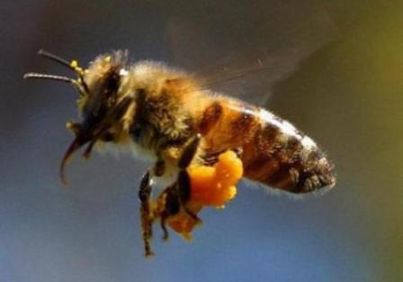 albinele-si-viespile-au-devenit-mai-agresive-din-cauza-secetei-1_size1