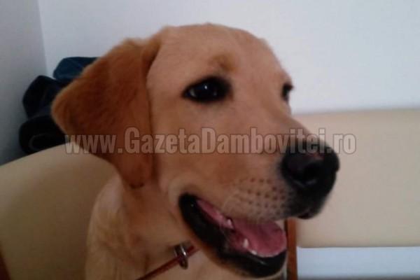 Pierdut labrador în Târgoviște. Se oferă recompensă