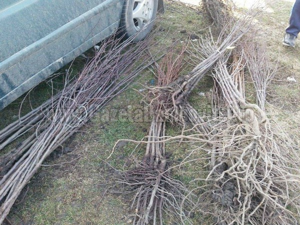 Probleme pentru producătorii de material săditor pomicol, din cauza secetei