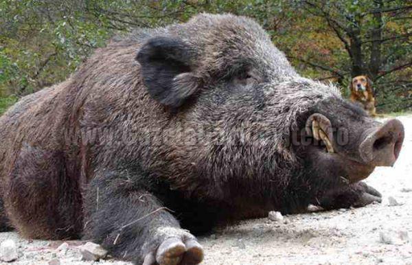 DÂMBOVIȚA: Pestă în fondul de vânătoare din zona Zimbrăriei Neagra