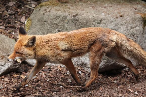 43559186 - red fox (vulpes vulpes). wild life animal.