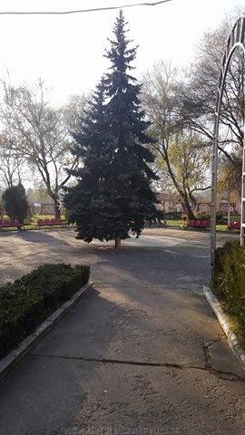 Bradul, montat in Parcul Orăsenesc