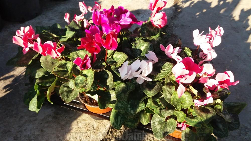 depozitului-de-flori-si-plante-ornamentale-ecoalpiflora-targoviste-2