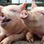 DÂMBOVIŢA: Un bărbat a fost mâncat de porcii pe care îi creştea în casă