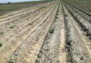 """Gerul a distrus 80% din culturile din """"Patria Cartofului"""" Anul acesta cartoful de Lungulețu va fi rar și scump"""