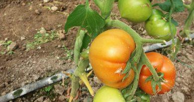 Primele tomate produse în Dâmboviţa prin programul naţional vor fi vândute pe piaţa din Găeşti