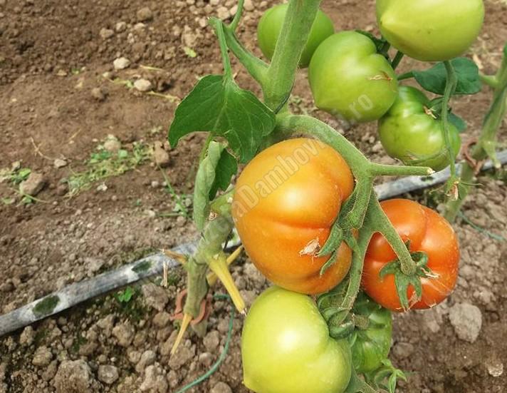 295 de agricultorii dâmbovițeni au cultivat roșii prin Programul guvernamental de sprijin