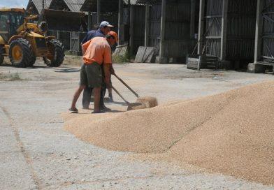 Prețuri mai bune pentru grâu decât în 2016 (Analiză bursa cerealelor AgroGo)