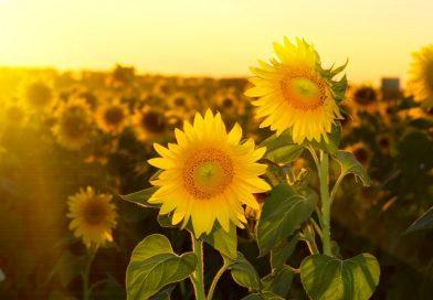 Analiză AgroGo: Prețul pentru floarea soarelui, în scădere!