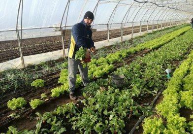 La început de iarnă, bălenarii vând salata și ceapa verde mai ieftin ca în primăvară