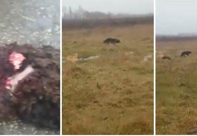 COMIȘANI: O haită de câini fără stăpân atacă animalele care pasc pe izlazuri – VIDEO