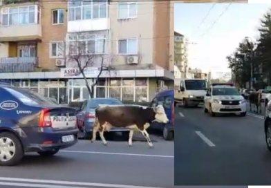 O vacă a încurcat traficul în Târgoviște, sub ochii polițiștilor – VIDEO