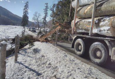 MOROENI: Circulație îngreunată pe DN 71 din cauza unui copac căzut pe carosabil