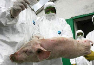 Corbii Mari: Virusul de pestă porcină africană a apărut într-o localitate din Petrești
