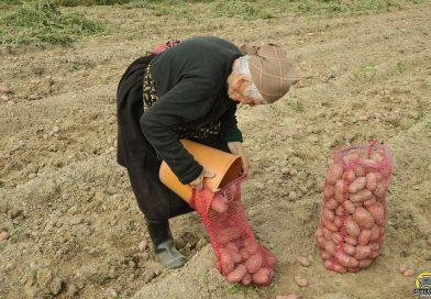 La Lunguleţu, în acest an, producţie de cartofi mai puţină, dar mai scumpă