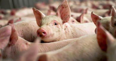 DSVSA Dâmboviţa: 5725 de porci sacrificaţi din cauza pestei porcine africane