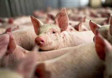 """După ce pesta porcină a măturat județul, APIA așteaptă cereri de plată pentru """"bunăstarea porcinelor"""""""