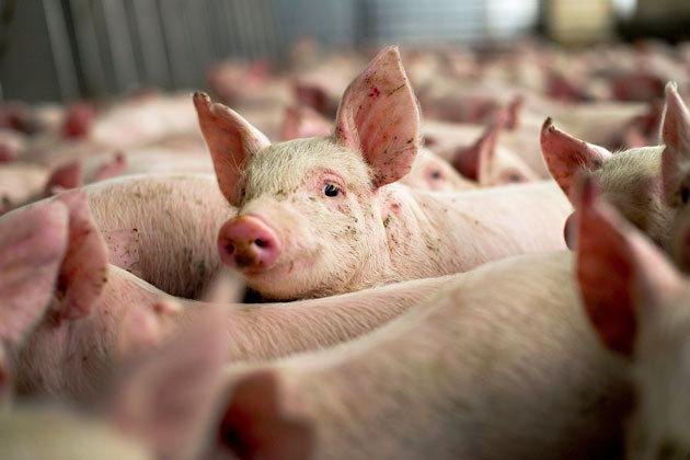 Dâmbovița:  5 focare de pestă porcină africană