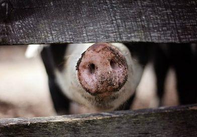 DÂMBOVIȚA: Pestă porcină la Poiana. Mai mulți porci dintr-o gospodărie au fost eutanasiați