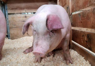 Caz de pestă porcină lângă Târgoviște. Numărul cazurilor confirmate a crescut