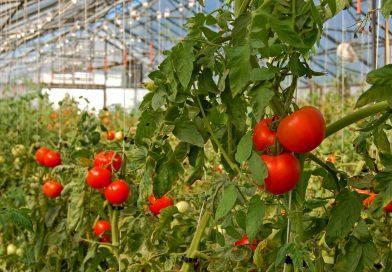 Programul Tomata: 15 iulie, ultima zi de depunere a documentelor care trebuie să ateste vânzarea roşiilor