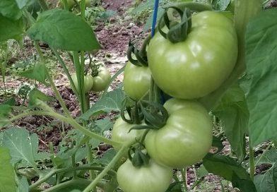 27 de legumicultori dâmboviţeni  s-au specializat pe cultura de tomate