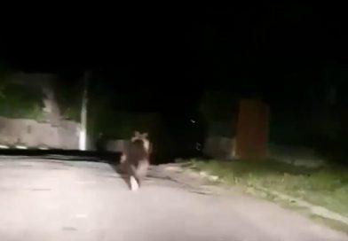 Urșii, la plimbare prin Moreni! Apelul autorităților