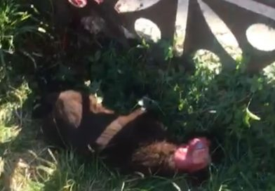 MORENI: Un alt câine jupuit de viu, găsit în Schela Mare