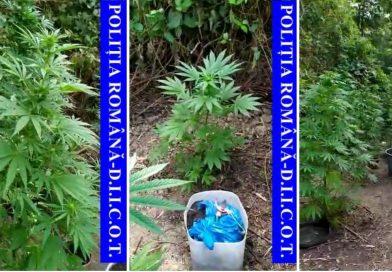 Un voineștean cultiva cannabis la liziera unei păduri din Gemenea