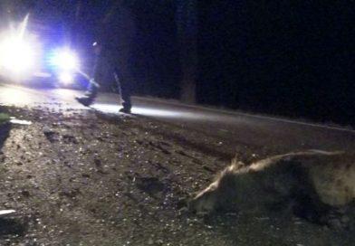 Două autoturisme distruse și o persoana accidentată grav din cauza unui porc mistreț