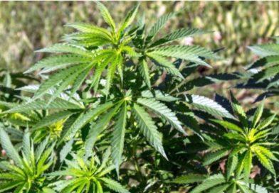 100 de parlamentari au votat pentru legalizarea canabisului în scop medicinal