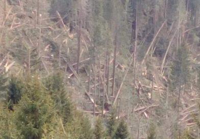 BUCEGI: Arbori doborâți de vânt pe suprafețe întinse