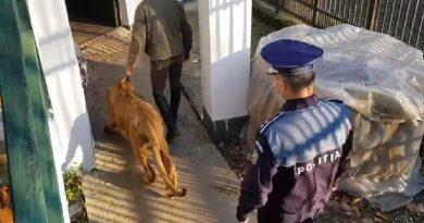 VIDEO: Leul maltratat din clipul unui manelist, găsit de polițiști la Picior de Munte